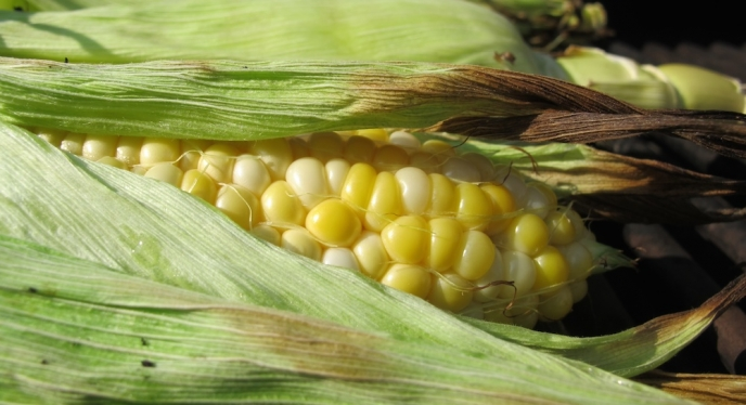 Sweet Summer Corn Tips